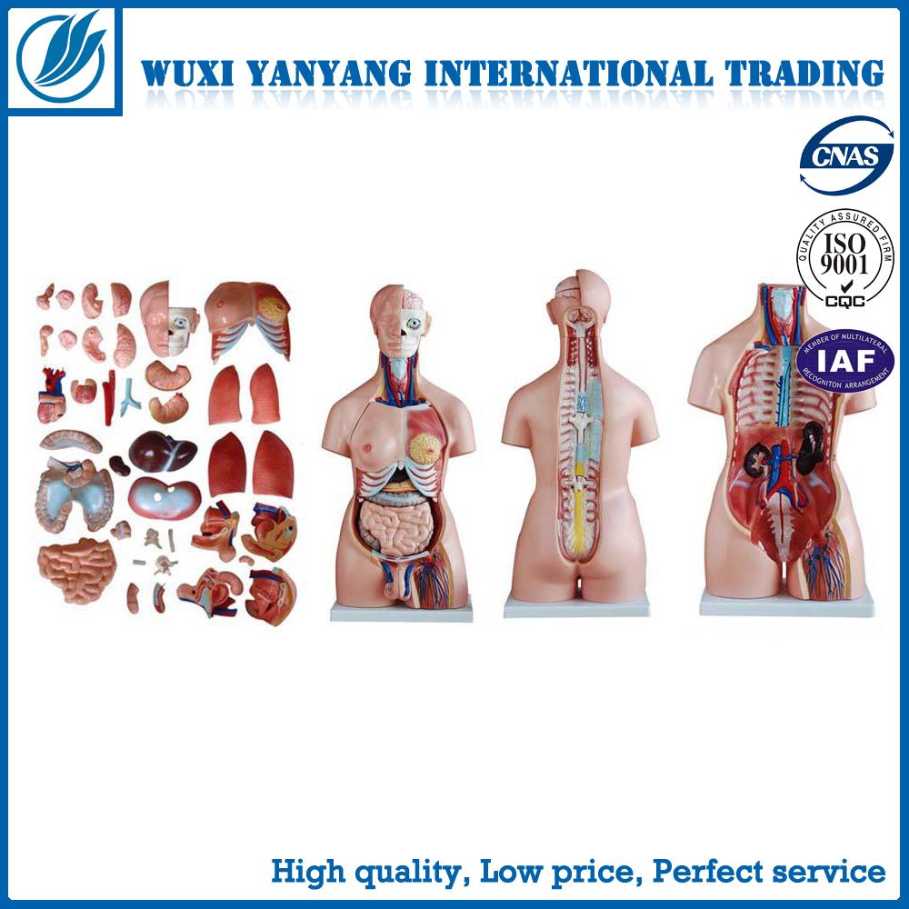 85cm Torso With Internal Organs 32 Parts,Human Torso Anatomy Model ...