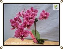 Miniatura abigarrado Phalaenopsis rojo tejido orquídeas cultura plántulas de orquídeas de Taiwan vivero orquídea frasco