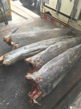 Best Quality Frozen Fish Sailfish On Hot Selling