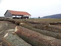 European Poplar Logs sawn timber and Lumber KD - S4S Grade and European Logs