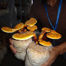 China Manufacturing Dried Shimeji Mushroom, Reishi, Ganoderma