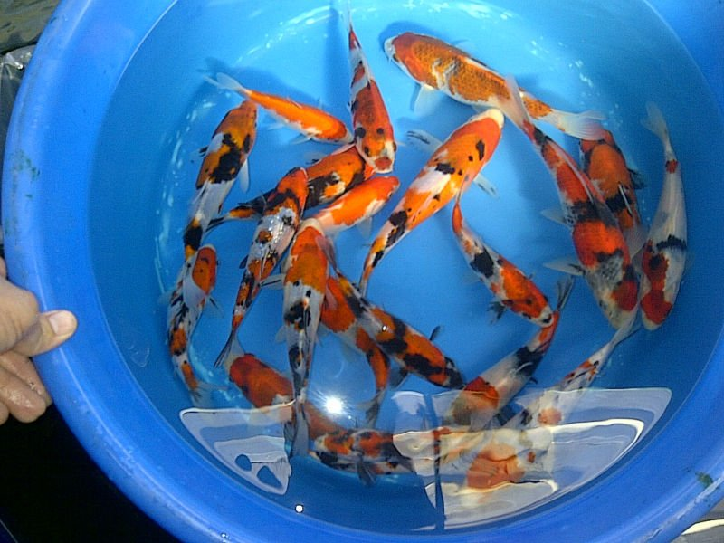 Koi For Sale Buy Live Koi Fish Product On