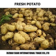 Fresh potato-new potato