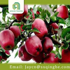 bulk Huaniu apples fruit specification
