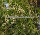 neem leaves/neem dry leaves/neem leaves powder/neem leaves extract/neem seeds/neem oil/neef flower/neem cake