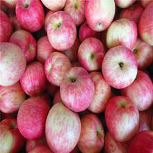 Fresh apple fruit Jonagold from Shandong 2015 new crop