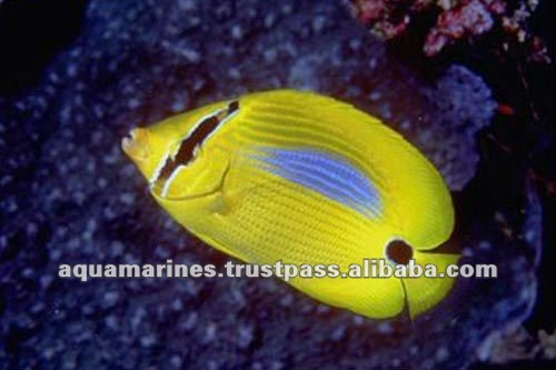 Yellow butterfly fish live marine aquarium fish buy live for Order fish online