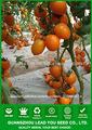 Semillas de tomate cherry amarillo T14 Jinzuan f1 híbridos en semillas de hortalizas, semillas de efecto invernadero