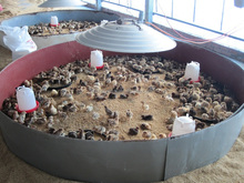 Farm ranch Pigling Chick Duck Swine Gosling brooder