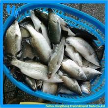 Frozen barramundi pescado entero ronda