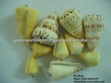Seashell - Premium product - High quality