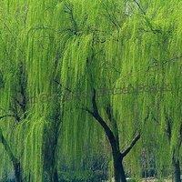 High quality white willow bark extract salicylic acid