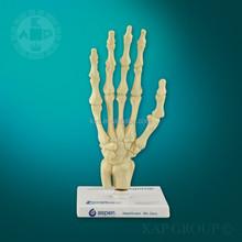 新たなプラスチック製品/医療モデル/モデルの解剖学的手