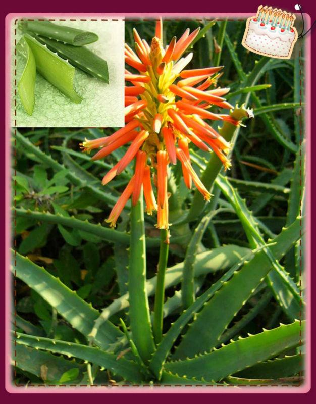 100% pure natural Aloe vera extract