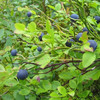 Standard Bilberry Extract Anthocyanidins for Antioxidants
