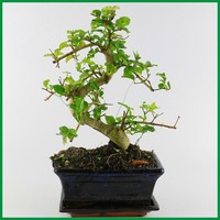 Chinese Bonsai Trees for Sale Ligustrum Bonsai Tree with 15cm pot