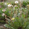 pu gong ying dandelion root extract dandelion plant extract