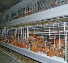 Galvanized pullet chicken cage system/automatic feeding system