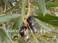 Fresh Highest Quality Libyan Olives