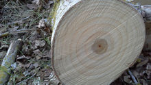 Poplar logs for plywood and veneer