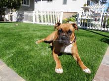 Artificial lawn grass for pet training areas