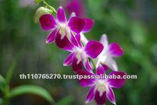 Dendrobium Sonia Earsakul, orchid plants