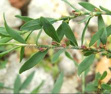 100% natural plant raw material PolygonumaviculareL. extract, PolygonumaviculareL. extract powder