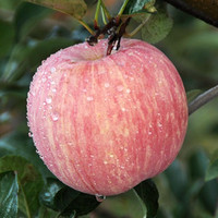 wholesale red delicious apples