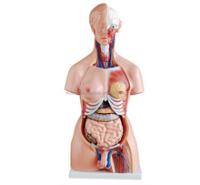 SE32132 Human Torso with Head, Neck and Trunk (Dual-Sex)