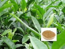 Less energy consumption bottom price green tea extract caffeine free
