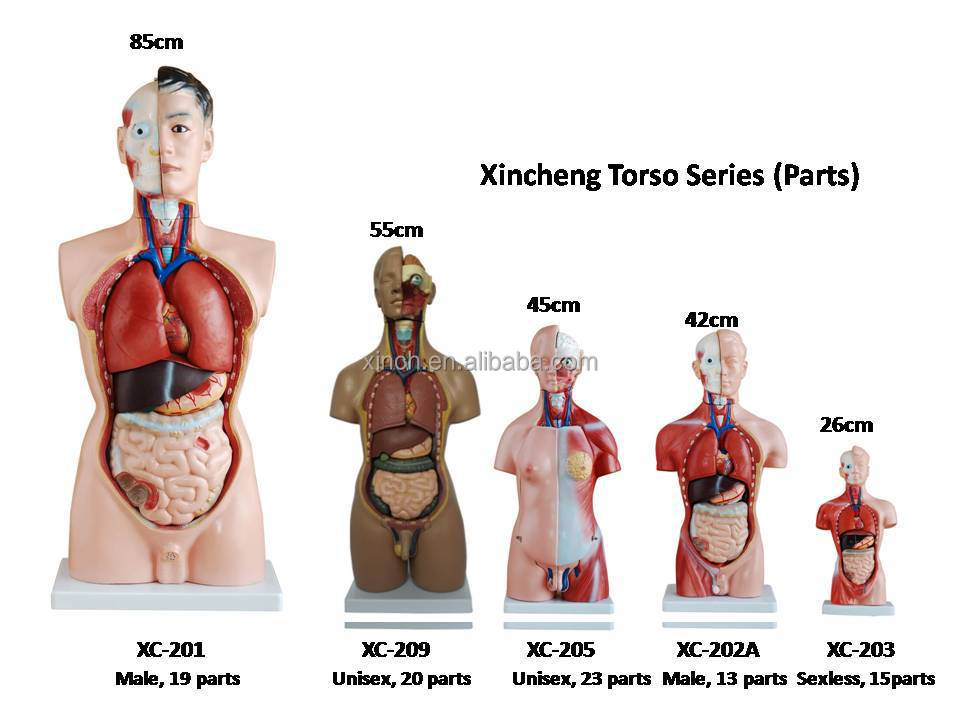 85cm Unisex Human Torso Model Human Anatomical Model With 40 Parts