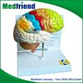 mfm001 atacado da china de ensino modelo do cérebro