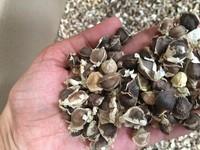 Moringa oleifera Seeds Indian Drumstick Seeds