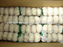 fresh garlic producers