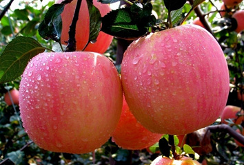 Red FUJI Apple of The World Optimized Growing Place with High Quality & Competitive Offer of Shaanxi