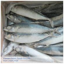 Light Blue Pacific Mackerel Sea Fish from China Whole Round Chub Mackerel Hot Selling