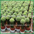 suculenta plantas del mini cacto VVIVERO Mammillaria