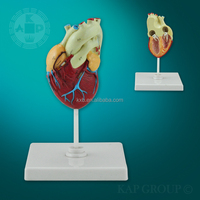 Hot Scale buy fake medical anatomical plastic Human heart 3d model/ artificial medical teaching heart disease model