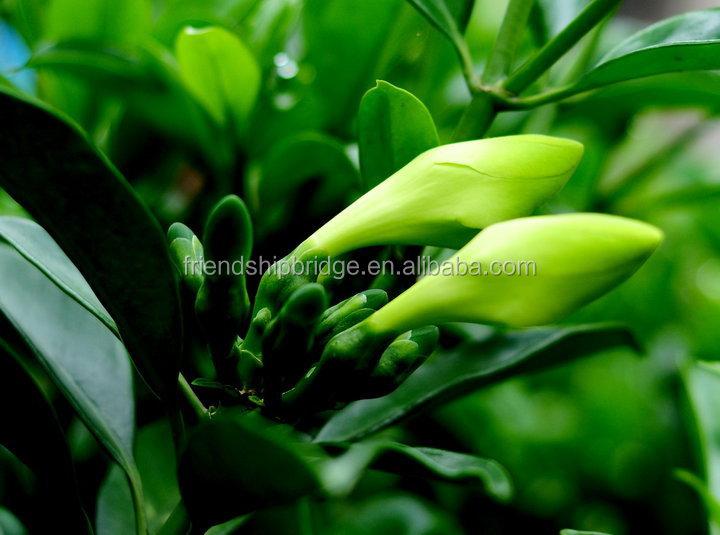 Rbol de hoja perenne de follaje fagraea ceilanicaof for Arboles ornamentales de hoja perenne
