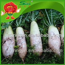 2015 New Crop White Radish/Fresh Radish/Organic Radish