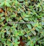 Euphorbia hirta/familia euphorbiaceae/asma hierba/serpiente de malezas/malezas asma