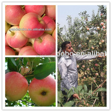New crop fresh gala apple fruit in china in low price in good quality for sale