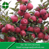 Delicious Fresh Fuji Apple with High Quality for export