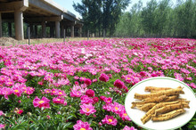 Paeoniflorin 10%,50% Trade Assurance High Quality Natural Plant Extract Radix Paeoniae Rubra P.E