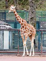 Handmade Giraffe Model Animatronic Animal
