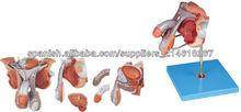 Modelo masculino estructura genital