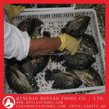 Frozen seafood Whole Round tilapia