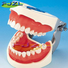 Dental adult typodont dental teeth model with removable screw for study