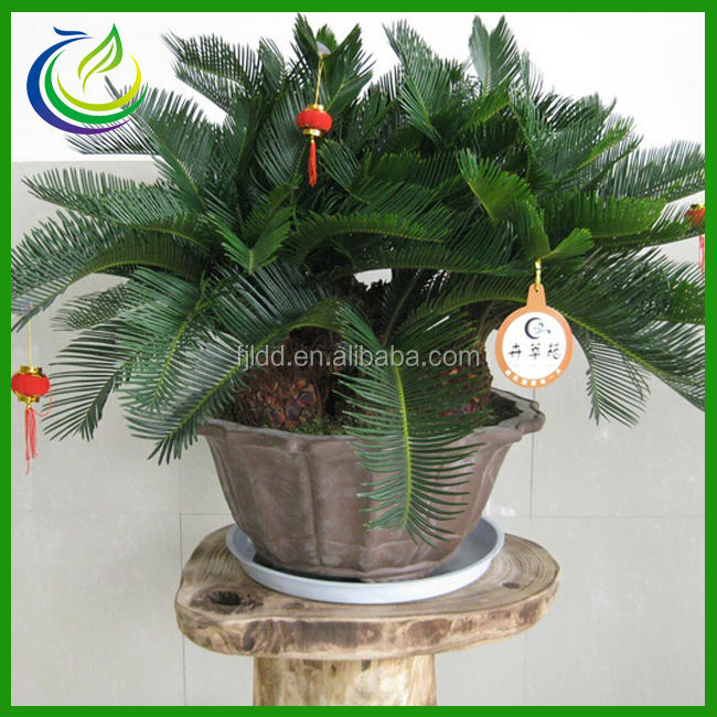 Large leaf indoor plants buy large cycas bonsai cycas cycas bonsai product on - Big leaf indoor plants ...