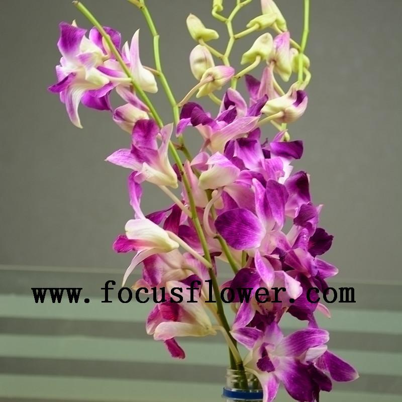 Bán Hot bán buôn fresh cut lan màu hồng dendrobium hoa lan tím phong lan cho vườn